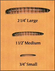 Superworm Sizes